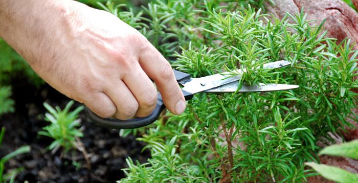cutting pruning harvesting rosemary