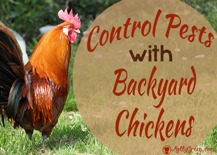 All Natural Pest Control with Backyard Chickens